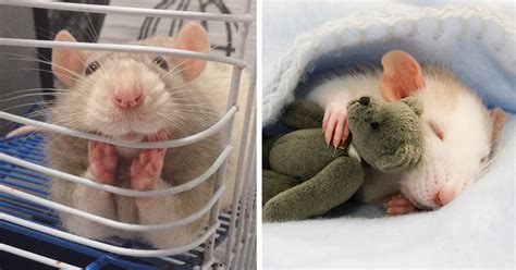 Pictures Of The Cutest Pets by 18 Adorable Rat Pics Proving That They Can Be The Cutest