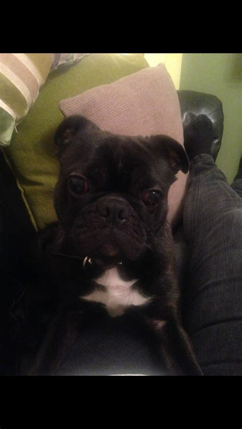 boston terrier pug for sale pug x boston terrier bug for sale wallasey merseyside pets4homes