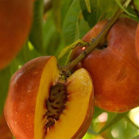 nectarine tree bare root delight 174 zaiger nectarine tree semi groworganic