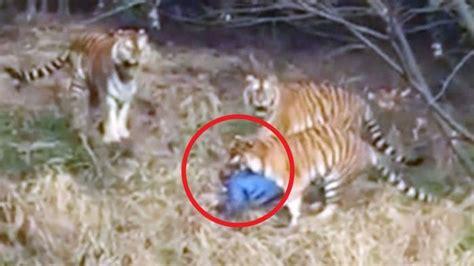 video mengerikan pria diterkam  dimakan harimau hidup