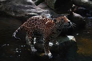 Jaguars Scientific Name Mvscience Jm Jaguar