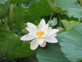 Whit Lotus File White Lotus Zizhuyuan Jpg Wikimedia Commons