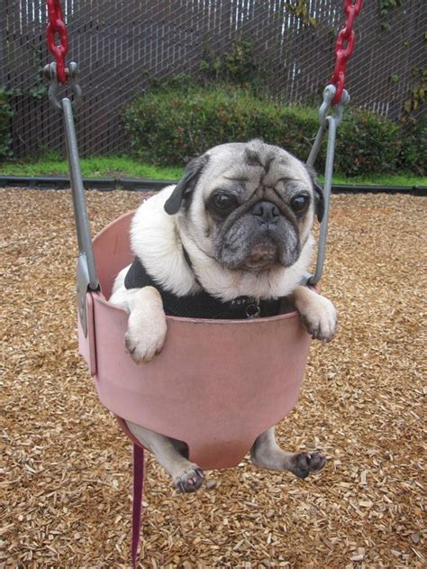 dog in baby swing 19 signs you are a crazy dog person
