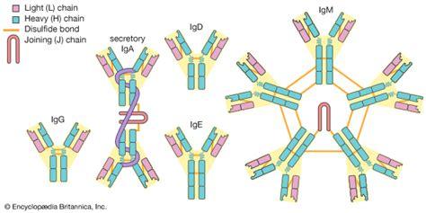 j protein immunoglobulins antibody biochemistry britannica