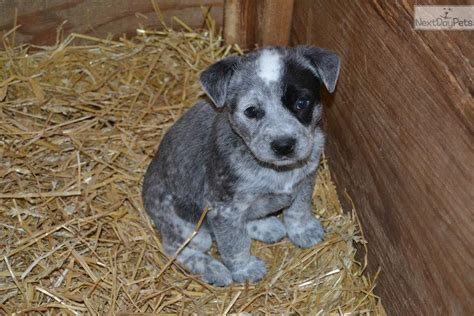 blue heeler puppies for sale in ky australian cattle blue heeler puppy for sale near louisville kentucky e1a6e2c2 db81
