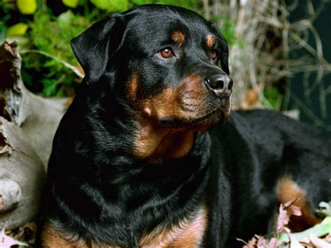german haired rottweiler german shepherd vs rottweiler one breed wins