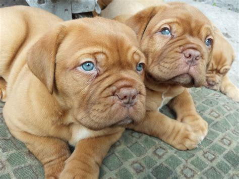 dogue de bordeaux puppy dogue de bordeaux info temperament puppies pictures