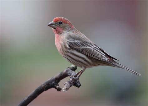 House Finch Calls 28 Images Hidalgo County Birding