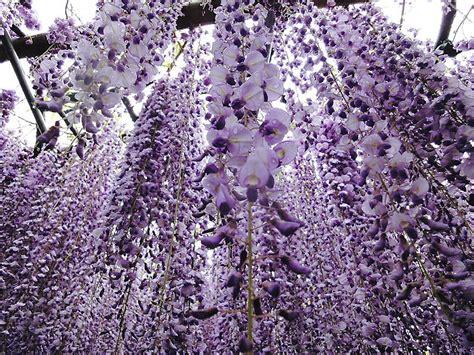 the wisteria flower tunnel at kawachi fuji garden the wisteria flower tunnel 4izq