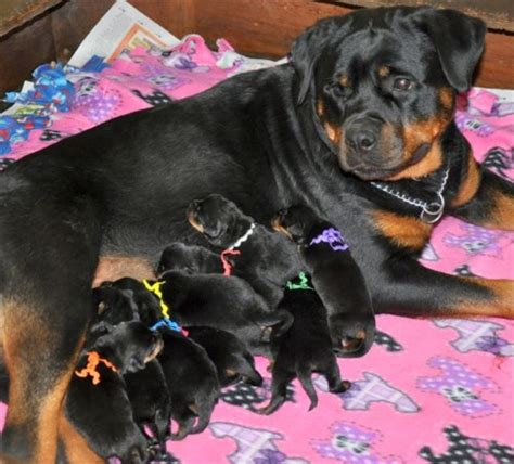 rottweiler forums rottweiler forum south africa dogs in our photo