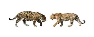 Size Of A Jaguar Leopards Truly Are The Best Fighters Among Big Cats