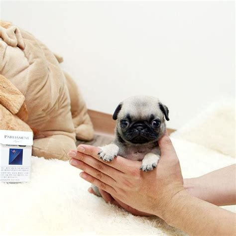 Pug Lowest Price
