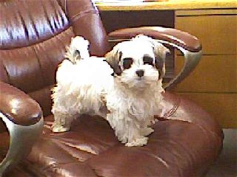 maltese shih tzu puppies for sale in nc shih tzu maltese puppies nc