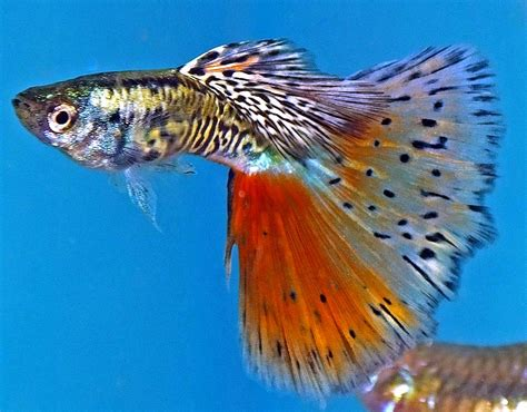 guppies colors the common guppy poecilia reticulata tropical fish keeping