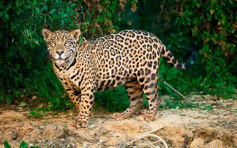 imagenes de jaguar mexicano jaguar herencia cultural en peligro de extinci 243 n forbes