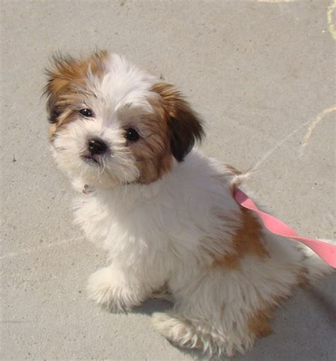 shichon puppy shih tzu bichon frise cute animals