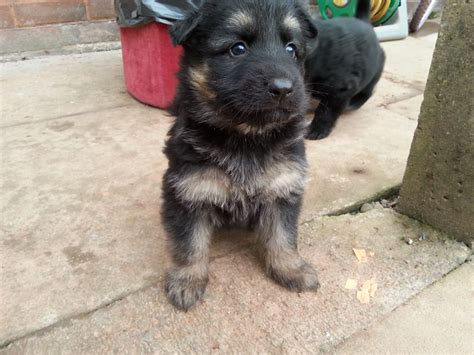 german hair puppy hair german shepherd puppies for sale quotes