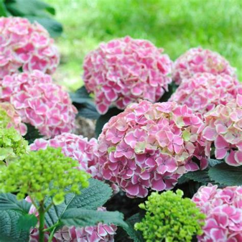 all year flowering shrubs 17 best images about to prune when to prune what