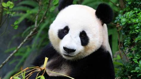 panda guts  failed  evolve  bamboo diet iflscience