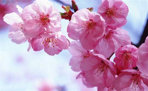 wallpaper bunga sakura di jepang gambar bunga sakura related keywords gambar bunga sakura