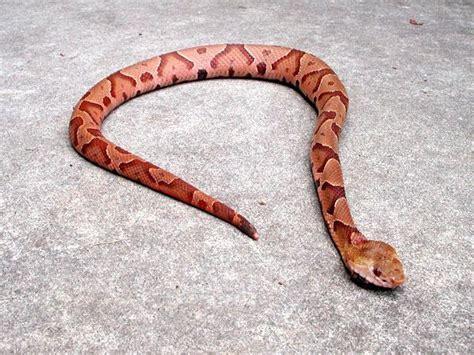 copper colored snake venomous snakes coldspring terrace