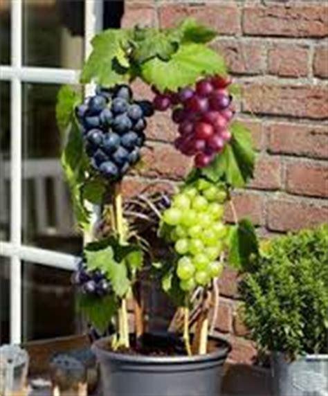 Buku Panen Besar Anggur Dalam Pot cara menanam tanaman buah anggur pada pot tanaman bunga hias