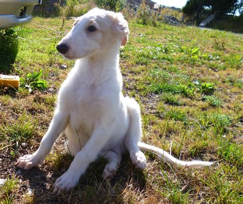 puppy breeders borzoi puppies breed information photos doglers