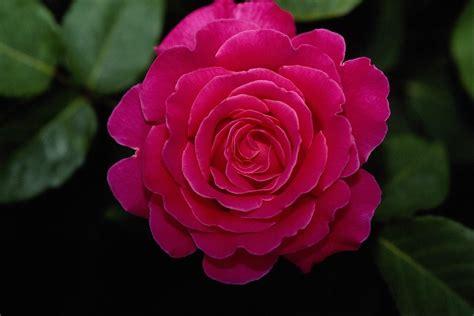 rose flower images garden colourful rose wallpapers for desktop background