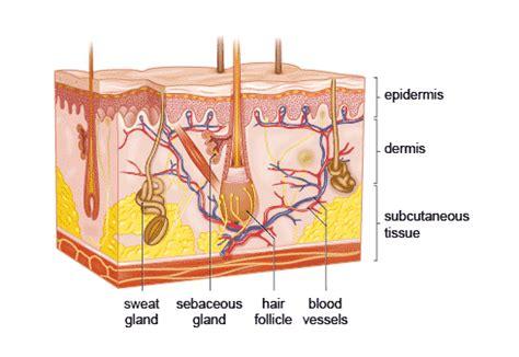 skin diagram 187 enlarged pores and blackheads makeup