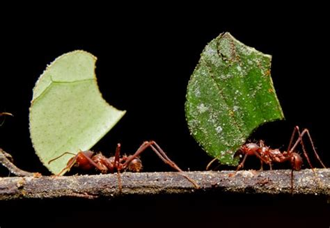 leafcutter ants updated   pestsorg