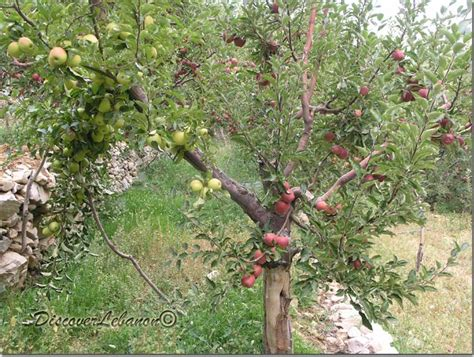 Apple In Beirut Discover Lebanon Image Gallery Trees And Flowers Apple Tree Akoura
