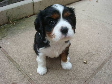 cavalier puppies for adoption king charles cavalier puppies ruby quotes