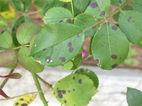 names of fungal diseases in plants 1000 ideas about diseases on pruning