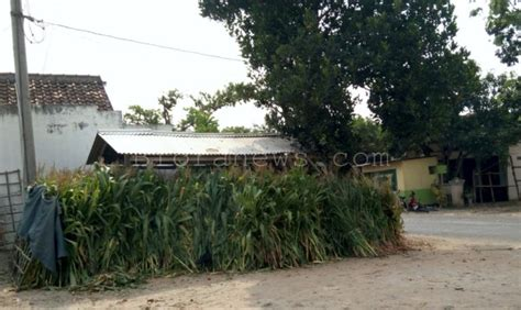 Harga Jagung Pakan Ternak 2017 di pasar pon harga hijauan pakan ternak naik 100 dak