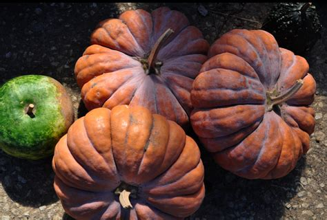 the ex expatriate s kitchen edible pumpkins links and - Are Pumpkins Edible