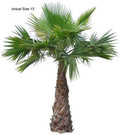 planting fan palm trees mexican fan palm washingtonia robusta