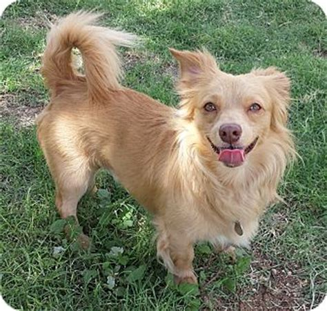 shetland sheepdog pomeranian mix pet not found