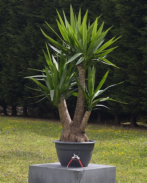 house for plants yucca elephantipes spineless yucca specimen plant house