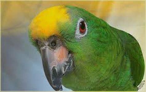 amazzone testa gialla il pappagallo amazzone fronte gialla club