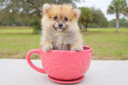 pomeranian puppies miami 10 best teacup puppies ready for adoption in florida images on