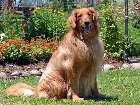 homeward bound golden retriever rescue sacramento he rescued me homeward bound