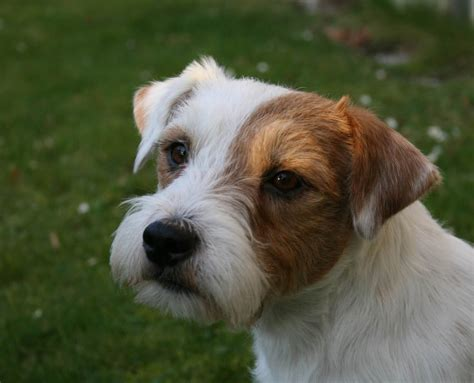 Parson Terrier Shedding by Parson Terrier Photo Gallery Breeds Picture
