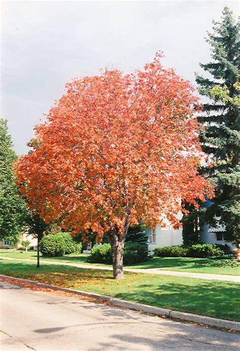 Gertens Garden Center by Ohio Buckeye Aesculus Glabra In Winnipeg Headingley Oak