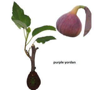 Harga Bibit Tin Yordan Ungu bibit buah tin ara lengkap dan murah toko tanaman toko