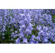 Bluebells Flowers Purple Bells Spring Wild Forest