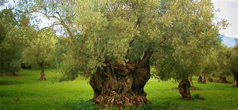 olive tree wallpaper olive tree cultivation