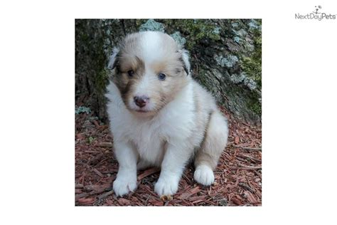 puppies for sale ct shetland sheepdog shane in connecticut breeds picture