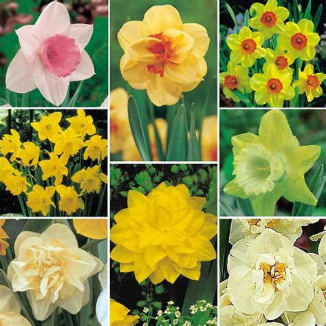 Ideas For Daffodil Varieties Design 40 Best Images About Wedding Flowers On Pinterest Flowers Blue Bouquet And Pansies