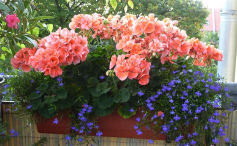 hänge geranien wann pflanzen geranien kaufen h ngende geranien grandeur pink 3 st
