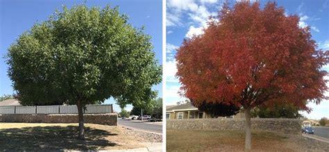 shade trees   desert southwest shade trees trees